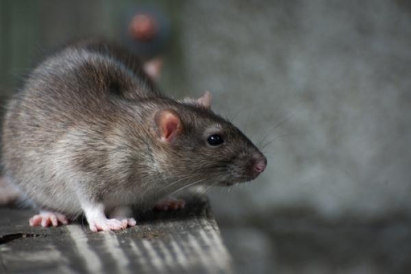 防治老鼠要共同執行