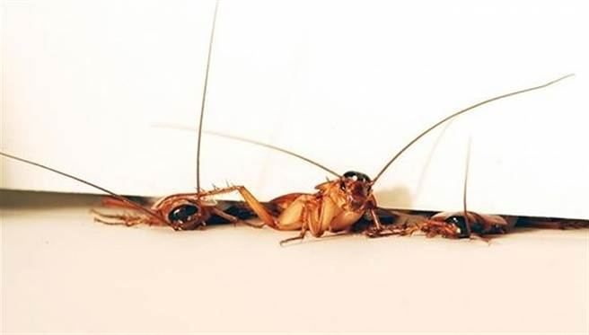 蟑螂可生多少小孩