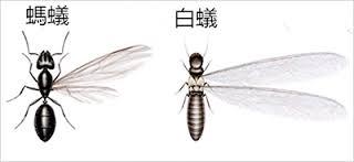 看到一隻白蟻別小看