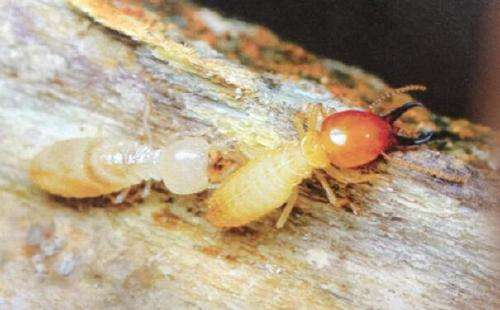 The termite army is invading your home