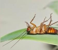 蟑螂防治洋蔥、消毒缺一不可
