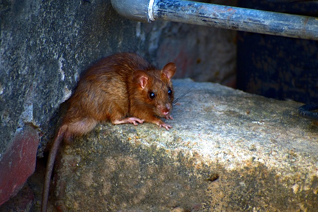 衛生習慣不好的他,終於出門去買了老鼠藥